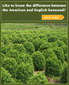 American and English Boxwoods